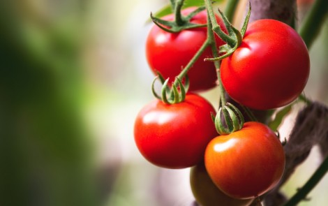 Side Effects of Radiation Therapy May Be Eased by a Diet Rich in Tomatoes, Study Reports